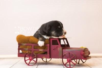 puppy90 week1 BowTiePomsky.com Bowtie Pomsky Puppy For Sale Husky Pomeranian Mini Dog Spokane WA Breeder Blue Eyes Pomskies Celebrity Puppy web6