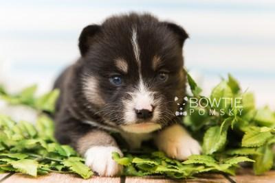 puppy90 week3 BowTiePomsky.com Bowtie Pomsky Puppy For Sale Husky Pomeranian Mini Dog Spokane WA Breeder Blue Eyes Pomskies Celebrity Puppy web3