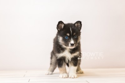 puppy90 week5 BowTiePomsky.com Bowtie Pomsky Puppy For Sale Husky Pomeranian Mini Dog Spokane WA Breeder Blue Eyes Pomskies Celebrity Puppy web4