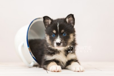 puppy90 week5 BowTiePomsky.com Bowtie Pomsky Puppy For Sale Husky Pomeranian Mini Dog Spokane WA Breeder Blue Eyes Pomskies Celebrity Puppy web6
