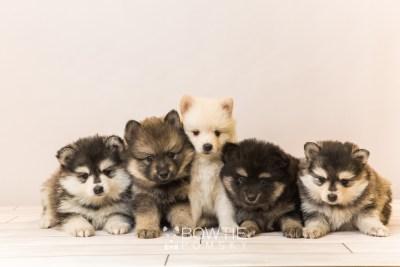 puppy91-95 week5 BowTiePomsky.com Bowtie Pomsky Puppy For Sale Husky Pomeranian Mini Dog Spokane WA Breeder Blue Eyes Pomskies Celebrity Puppy web1