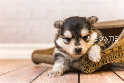 puppy91 week3 BowTiePomsky.com Bowtie Pomsky Puppy For Sale Husky Pomeranian Mini Dog Spokane WA Breeder Blue Eyes Pomskies Celebrity Puppy web4