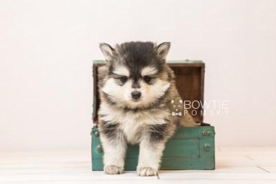 puppy91 week5 BowTiePomsky.com Bowtie Pomsky Puppy For Sale Husky Pomeranian Mini Dog Spokane WA Breeder Blue Eyes Pomskies Celebrity Puppy web1