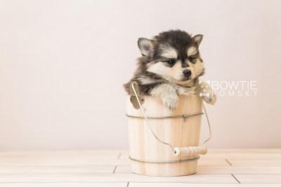 puppy91 week5 BowTiePomsky.com Bowtie Pomsky Puppy For Sale Husky Pomeranian Mini Dog Spokane WA Breeder Blue Eyes Pomskies Celebrity Puppy web5