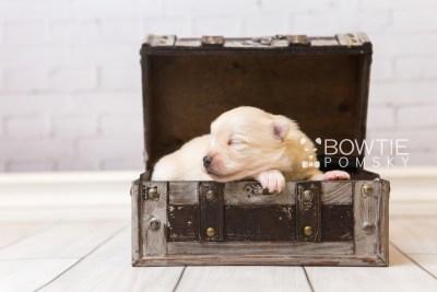 puppy92 week1 BowTiePomsky.com Bowtie Pomsky Puppy For Sale Husky Pomeranian Mini Dog Spokane WA Breeder Blue Eyes Pomskies Celebrity Puppy web1