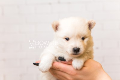 puppy92 week3 BowTiePomsky.com Bowtie Pomsky Puppy For Sale Husky Pomeranian Mini Dog Spokane WA Breeder Blue Eyes Pomskies Celebrity Puppy web1