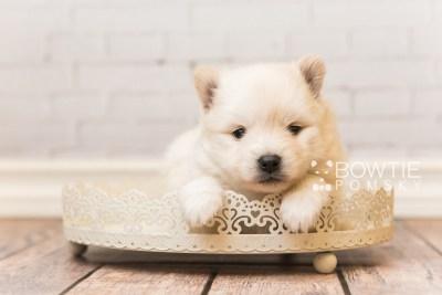 puppy92 week3 BowTiePomsky.com Bowtie Pomsky Puppy For Sale Husky Pomeranian Mini Dog Spokane WA Breeder Blue Eyes Pomskies Celebrity Puppy web5