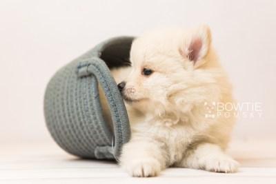 puppy92 week5 BowTiePomsky.com Bowtie Pomsky Puppy For Sale Husky Pomeranian Mini Dog Spokane WA Breeder Blue Eyes Pomskies Celebrity Puppy web5