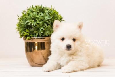 puppy92 week5 BowTiePomsky.com Bowtie Pomsky Puppy For Sale Husky Pomeranian Mini Dog Spokane WA Breeder Blue Eyes Pomskies Celebrity Puppy web6