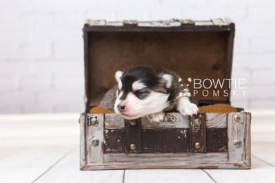 puppy93 week1 BowTiePomsky.com Bowtie Pomsky Puppy For Sale Husky Pomeranian Mini Dog Spokane WA Breeder Blue Eyes Pomskies Celebrity Puppy web1