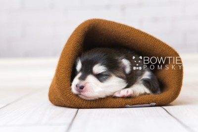 puppy93 week1 BowTiePomsky.com Bowtie Pomsky Puppy For Sale Husky Pomeranian Mini Dog Spokane WA Breeder Blue Eyes Pomskies Celebrity Puppy web2