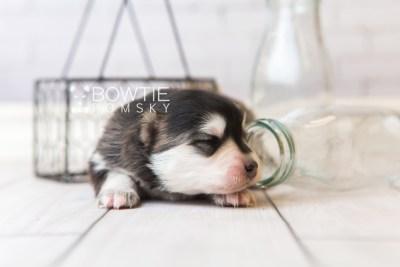 puppy93 week1 BowTiePomsky.com Bowtie Pomsky Puppy For Sale Husky Pomeranian Mini Dog Spokane WA Breeder Blue Eyes Pomskies Celebrity Puppy web4