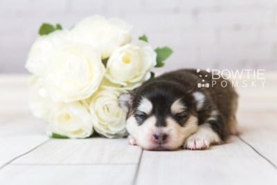 puppy93 week1 BowTiePomsky.com Bowtie Pomsky Puppy For Sale Husky Pomeranian Mini Dog Spokane WA Breeder Blue Eyes Pomskies Celebrity Puppy web5