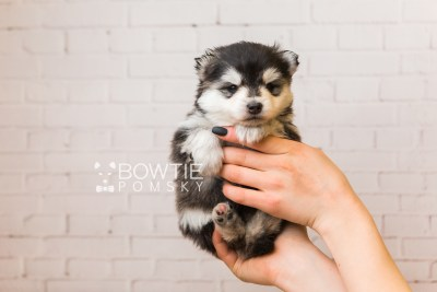 puppy93 week3 BowTiePomsky.com Bowtie Pomsky Puppy For Sale Husky Pomeranian Mini Dog Spokane WA Breeder Blue Eyes Pomskies Celebrity Puppy web1