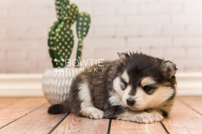 puppy93 week3 BowTiePomsky.com Bowtie Pomsky Puppy For Sale Husky Pomeranian Mini Dog Spokane WA Breeder Blue Eyes Pomskies Celebrity Puppy web4