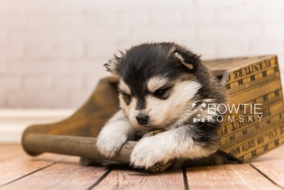 puppy93 week3 BowTiePomsky.com Bowtie Pomsky Puppy For Sale Husky Pomeranian Mini Dog Spokane WA Breeder Blue Eyes Pomskies Celebrity Puppy web6