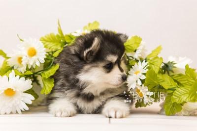 puppy93 week5 BowTiePomsky.com Bowtie Pomsky Puppy For Sale Husky Pomeranian Mini Dog Spokane WA Breeder Blue Eyes Pomskies Celebrity Puppy web5
