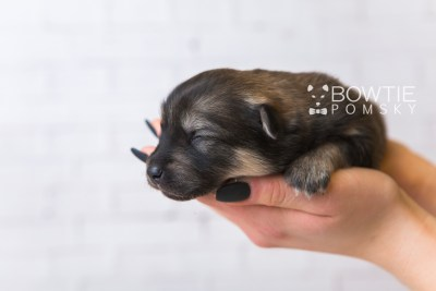 puppy94 week1 BowTiePomsky.com Bowtie Pomsky Puppy For Sale Husky Pomeranian Mini Dog Spokane WA Breeder Blue Eyes Pomskies Celebrity Puppy web5