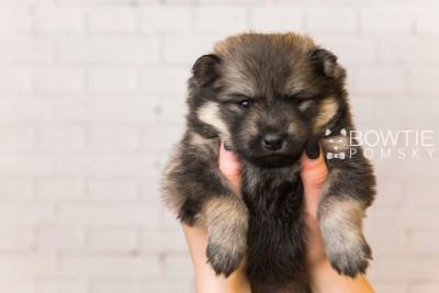 puppy94 week3 BowTiePomsky.com Bowtie Pomsky Puppy For Sale Husky Pomeranian Mini Dog Spokane WA Breeder Blue Eyes Pomskies Celebrity Puppy web1