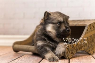 puppy94 week3 BowTiePomsky.com Bowtie Pomsky Puppy For Sale Husky Pomeranian Mini Dog Spokane WA Breeder Blue Eyes Pomskies Celebrity Puppy web5