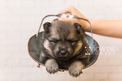 puppy94 week3 BowTiePomsky.com Bowtie Pomsky Puppy For Sale Husky Pomeranian Mini Dog Spokane WA Breeder Blue Eyes Pomskies Celebrity Puppy web6