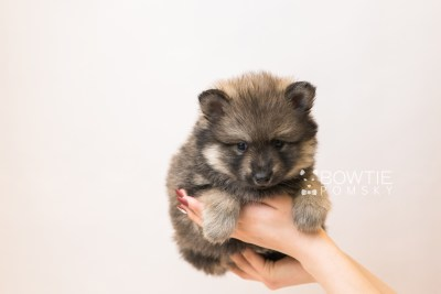 puppy94 week5 BowTiePomsky.com Bowtie Pomsky Puppy For Sale Husky Pomeranian Mini Dog Spokane WA Breeder Blue Eyes Pomskies Celebrity Puppy web1