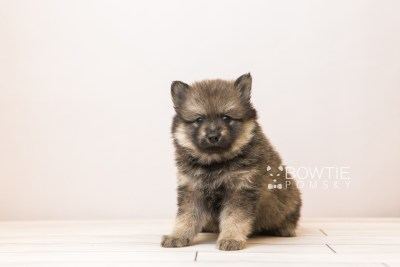 puppy94 week5 BowTiePomsky.com Bowtie Pomsky Puppy For Sale Husky Pomeranian Mini Dog Spokane WA Breeder Blue Eyes Pomskies Celebrity Puppy web3