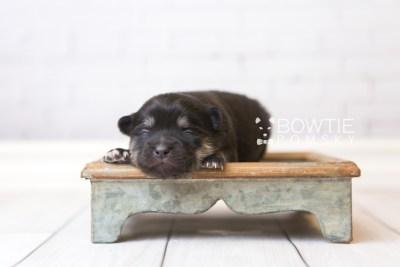 puppy95 week1 BowTiePomsky.com Bowtie Pomsky Puppy For Sale Husky Pomeranian Mini Dog Spokane WA Breeder Blue Eyes Pomskies Celebrity Puppy web6