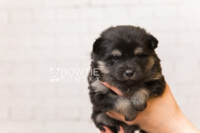 puppy95 week3 BowTiePomsky.com Bowtie Pomsky Puppy For Sale Husky Pomeranian Mini Dog Spokane WA Breeder Blue Eyes Pomskies Celebrity Puppy web1
