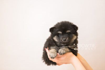 puppy95 week5 BowTiePomsky.com Bowtie Pomsky Puppy For Sale Husky Pomeranian Mini Dog Spokane WA Breeder Blue Eyes Pomskies Celebrity Puppy web1