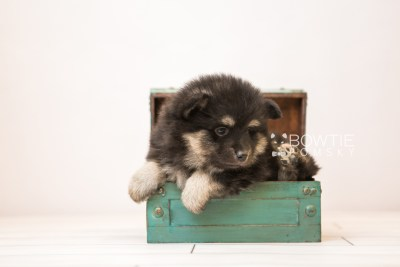 puppy95 week5 BowTiePomsky.com Bowtie Pomsky Puppy For Sale Husky Pomeranian Mini Dog Spokane WA Breeder Blue Eyes Pomskies Celebrity Puppy web6