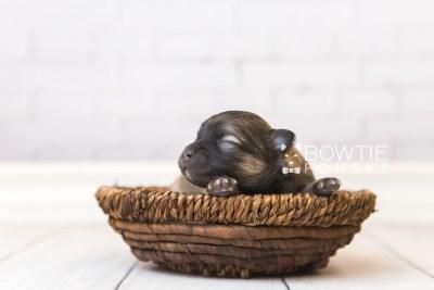 puppy96 week1 BowTiePomsky.com Bowtie Pomsky Puppy For Sale Husky Pomeranian Mini Dog Spokane WA Breeder Blue Eyes Pomskies Celebrity Puppy web1