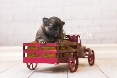 puppy96 week1 BowTiePomsky.com Bowtie Pomsky Puppy For Sale Husky Pomeranian Mini Dog Spokane WA Breeder Blue Eyes Pomskies Celebrity Puppy web5