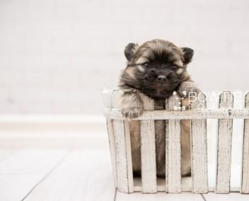 puppy96 week3 BowTiePomsky.com Bowtie Pomsky Puppy For Sale Husky Pomeranian Mini Dog Spokane WA Breeder Blue Eyes Pomskies Celebrity Puppy web4