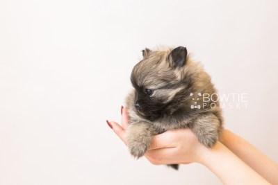 puppy96 week5 BowTiePomsky.com Bowtie Pomsky Puppy For Sale Husky Pomeranian Mini Dog Spokane WA Breeder Blue Eyes Pomskies Celebrity Puppy web6