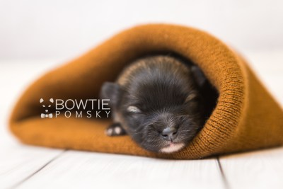 puppy97 week1 BowTiePomsky.com Bowtie Pomsky Puppy For Sale Husky Pomeranian Mini Dog Spokane WA Breeder Blue Eyes Pomskies Celebrity Puppy web5