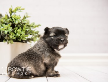 puppy97 week3 BowTiePomsky.com Bowtie Pomsky Puppy For Sale Husky Pomeranian Mini Dog Spokane WA Breeder Blue Eyes Pomskies Celebrity Puppy web2