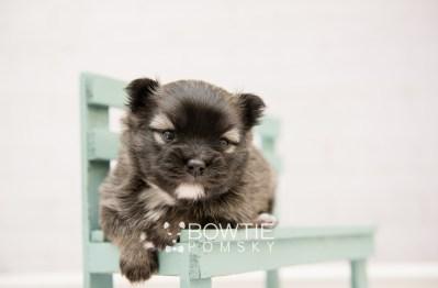 puppy97 week3 BowTiePomsky.com Bowtie Pomsky Puppy For Sale Husky Pomeranian Mini Dog Spokane WA Breeder Blue Eyes Pomskies Celebrity Puppy web4