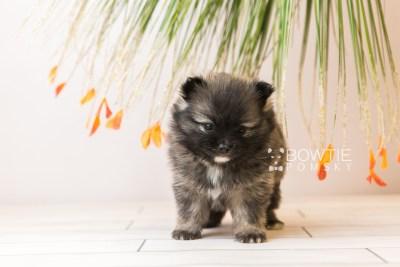 puppy97 week5 BowTiePomsky.com Bowtie Pomsky Puppy For Sale Husky Pomeranian Mini Dog Spokane WA Breeder Blue Eyes Pomskies Celebrity Puppy web5