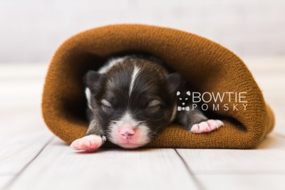 puppy98 week1 BowTiePomsky.com Bowtie Pomsky Puppy For Sale Husky Pomeranian Mini Dog Spokane WA Breeder Blue Eyes Pomskies Celebrity Puppy web2