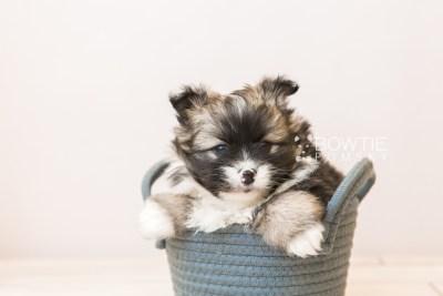puppy98 week5 BowTiePomsky.com Bowtie Pomsky Puppy For Sale Husky Pomeranian Mini Dog Spokane WA Breeder Blue Eyes Pomskies Celebrity Puppy web1