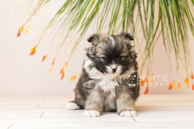 puppy98 week5 BowTiePomsky.com Bowtie Pomsky Puppy For Sale Husky Pomeranian Mini Dog Spokane WA Breeder Blue Eyes Pomskies Celebrity Puppy web2