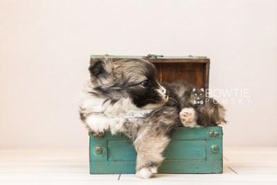 puppy98 week5 BowTiePomsky.com Bowtie Pomsky Puppy For Sale Husky Pomeranian Mini Dog Spokane WA Breeder Blue Eyes Pomskies Celebrity Puppy web3