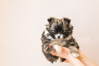 puppy98 week5 BowTiePomsky.com Bowtie Pomsky Puppy For Sale Husky Pomeranian Mini Dog Spokane WA Breeder Blue Eyes Pomskies Celebrity Puppy web6