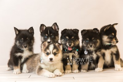 puppy85-90 week7 BowTiePomsky.com Bowtie Pomsky Puppy For Sale Husky Pomeranian Mini Dog Spokane WA Breeder Blue Eyes Pomskies Celebrity Puppy web2