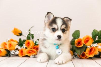 puppy85 week7 BowTiePomsky.com Bowtie Pomsky Puppy For Sale Husky Pomeranian Mini Dog Spokane WA Breeder Blue Eyes Pomskies Celebrity Puppy web1