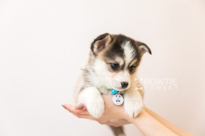 puppy85 week7 BowTiePomsky.com Bowtie Pomsky Puppy For Sale Husky Pomeranian Mini Dog Spokane WA Breeder Blue Eyes Pomskies Celebrity Puppy web6