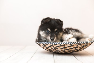 puppy86 week7 BowTiePomsky.com Bowtie Pomsky Puppy For Sale Husky Pomeranian Mini Dog Spokane WA Breeder Blue Eyes Pomskies Celebrity Puppy web2