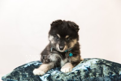 puppy86 week7 BowTiePomsky.com Bowtie Pomsky Puppy For Sale Husky Pomeranian Mini Dog Spokane WA Breeder Blue Eyes Pomskies Celebrity Puppy web3