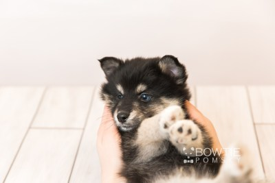puppy86 week7 BowTiePomsky.com Bowtie Pomsky Puppy For Sale Husky Pomeranian Mini Dog Spokane WA Breeder Blue Eyes Pomskies Celebrity Puppy web4